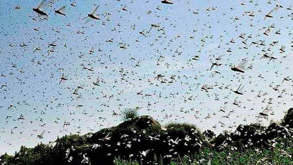 DGCA Warns Pilots For Locust Danger: टिड्डों के हमले को लेकर डीजीसीए ने जारी किया सर्कुलर