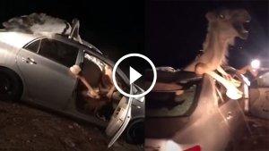 वीडियो में देखिये जब टोयोटा कोरोला में घंटों फंसा रहा ऊँट