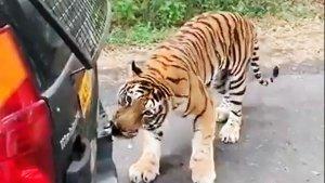 खेल-खेल में बंगाल टाइगर ने महिंद्रा जाइलो को खींचा, देखें हैरान करने वाला वीडियो